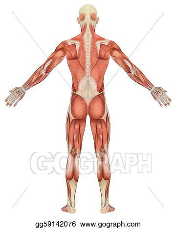 Drawing Male Muscular Anatomy Rear View Clipart Drawing