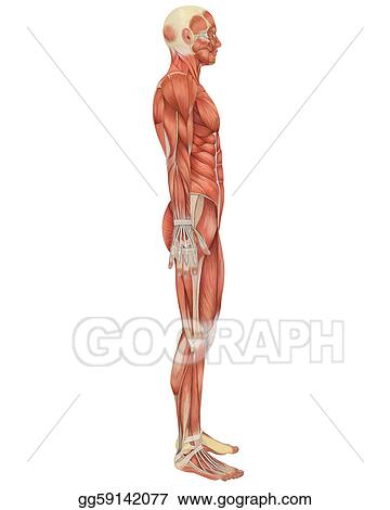 Drawing - Male muscular anatomy side view. Clipart Drawing ...