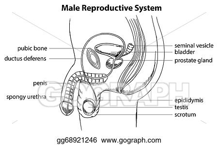 Vector Stock - Male reproductive system. Stock Clip Art gg68921246 ...