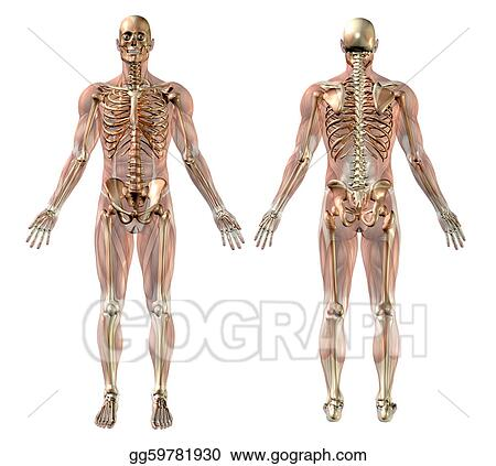 diagram of male skeleton stock illustration male skeleton with semi transparent muscles  male skeleton with semi transparent