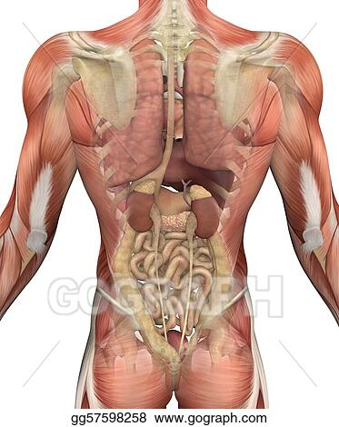 Stock Illustrations Male Torso With Muscles And Organs Back View