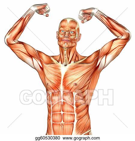 Stock Illustration - Male upper body anatomy. Clip Art gg60530380 ...