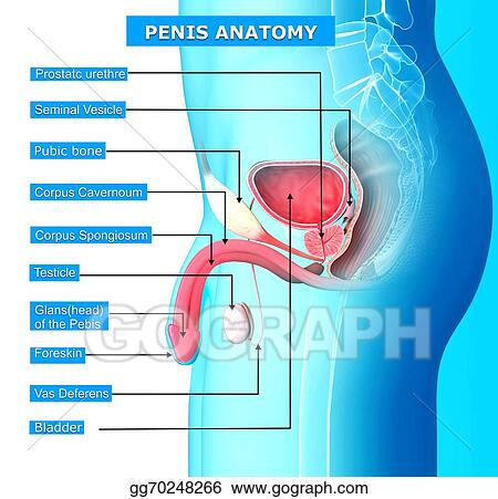 Clip Art - Male urinary system with names  Stock