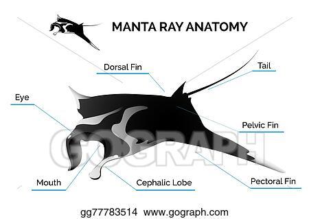 Vector Stock Manta Ray Anatomy Stock Clip Art Gg77783514 Gograph