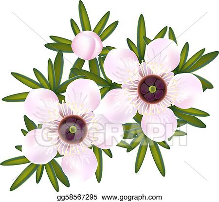 Tea leaves clip art royalty free gograph leaves manuka or tea tree or just leptospermum flowers and leaf thecheapjerseys Image collections