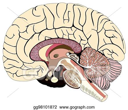Eps illustration median section of human brain diagram vector median section of human brain diagram ccuart Image collections