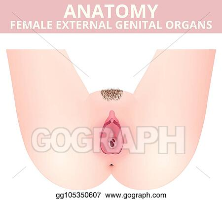 Vector Illustration Medical Poster Female Anatomy Vagina Stock