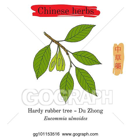 Vector Illustration Medicinal Herbs Of China Hardy Rubber Tree