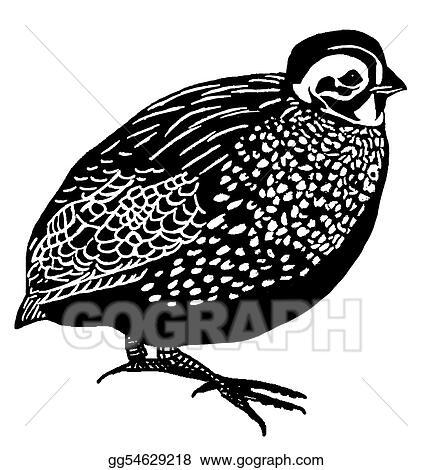 stock illustration montezuma quail clipart drawing gg54629218