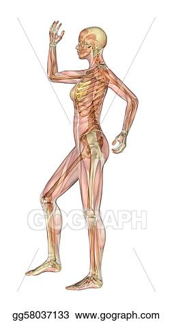stock illustration muscles and skeleton female with arm and leg