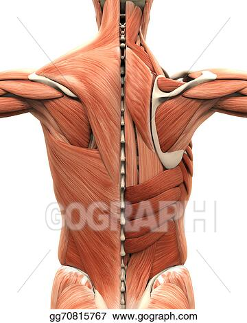 Drawings - Muscular anatomy of the back. Stock Illustration ...