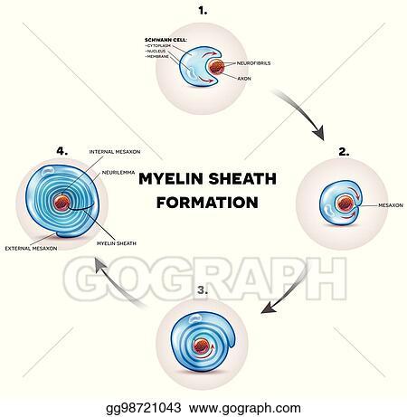 vector stock myelin sheath formation stock clip art gg98721043