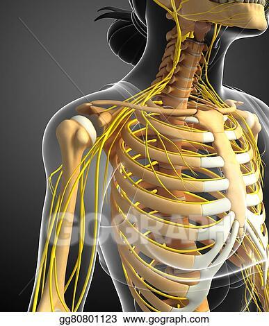 Stock Illustration Nervous System And Female Ribcage Artwork