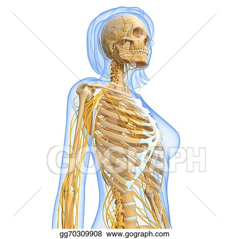 Drawing Nervous System Of Female Ribs Clipart Drawing Gg70309908