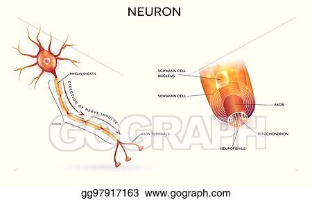 Vector art neuron and myelin sheath eps clipart gg97917163 gograph neuron and myelin sheath ccuart Gallery