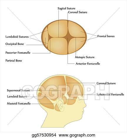 Stock Illustrations - Newborn skull bone. Stock Clipart gg57530954 ...
