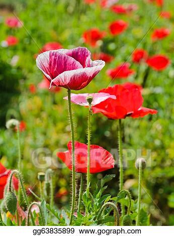 Stock photography opium poppy flower stock photo gg63835899 opium poppy flower mightylinksfo