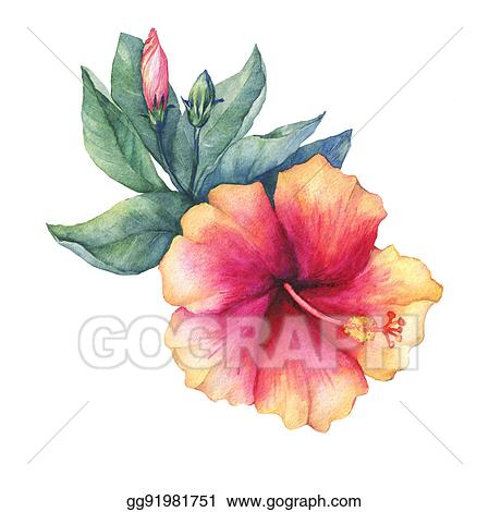 Stock Photo Peach Pink Hibiscus Flower Hand Drawn Watercolor