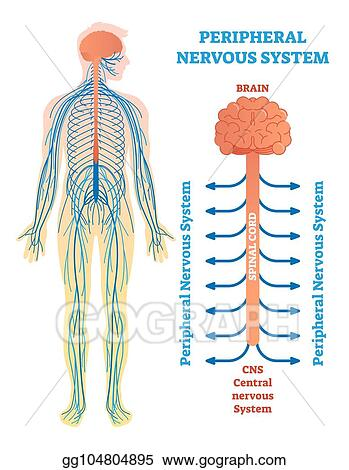Vector Stock Peripheral Nervous System Medical Vector