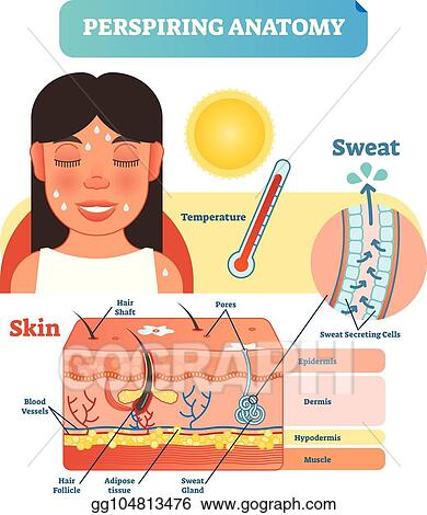 perspiring anatomical skin cross section vector illustration diagram with  sweat secreting cells