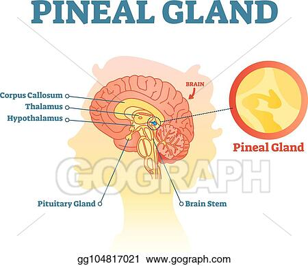 EPS Illustration - Pineal gland anatomical cross section vector ...