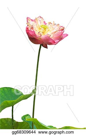 Stock Photography Pink Water Lily Flower Lotus And White