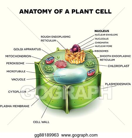 Vector Stock - Plant cell. Clipart Illustration gg88189963 - GoGraph
