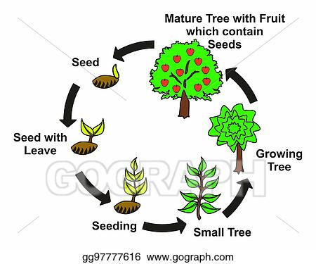 Vector Stock Plant Life Cycle Diagram Stock Clip Art Gg97777616