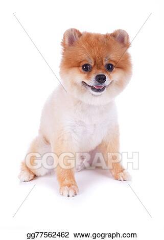 Picture Pomeranian Dog Brown Short Hair Stock Photos Gg77562462