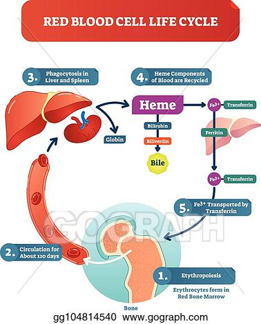vector stock red blood cell life cycle medical vector illustration Human Red Blood Cell Diagram red blood cell life cycle medical vector illustration diagram with biological anatomy scheme