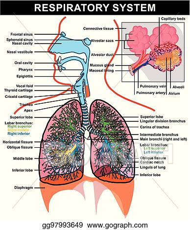 Vector Art Respiratory System Anatomy Diagram Clipart Drawing