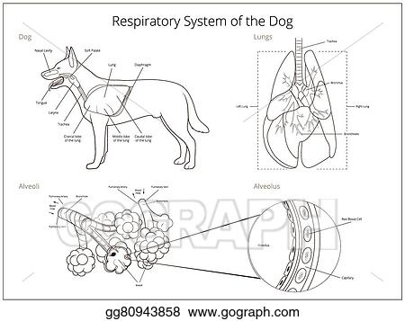 Clip art vector respiratory system of the dog vector illustration respiratory system of the dog vector illustration ccuart