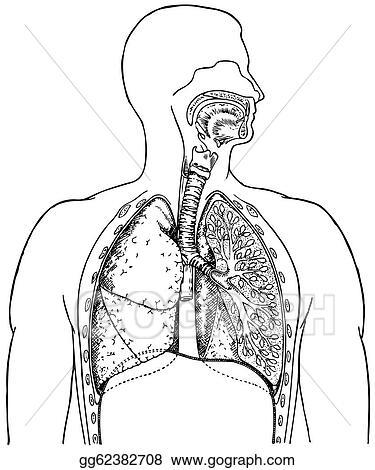 Vector Stock Respiratory System Clipart Illustration Gg62382708