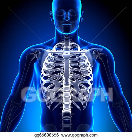 Stock Illustration - Rib cage / sternum - anatomy bones. Clip Art ...