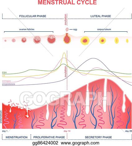 Eps vector scheme of the menstrual cycle stock clipart scheme of the menstrual cycle ccuart