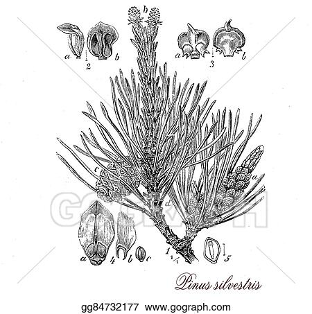 Stock Illustrations - Scots pine, botanical vintage engraving  Stock