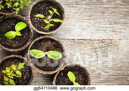 stock photograph seedlings growing in peat moss pots stock image