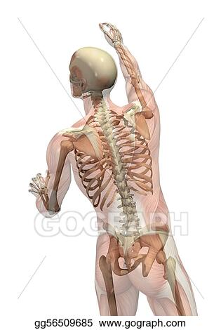 Stock illustration semi transparent muscles with skeleton stock illustration semi transparent muscles over skeleton man seen from back view turning and reaching up clipart drawing gg56509685 ccuart Image collections