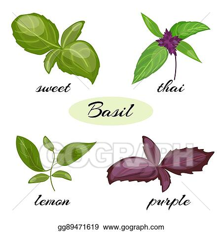 Vector Stock - Set of basil leaves  different types of basil