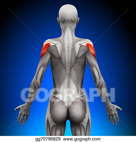 Drawing - Shoulders - female anatomy muscles. Clipart Drawing ...