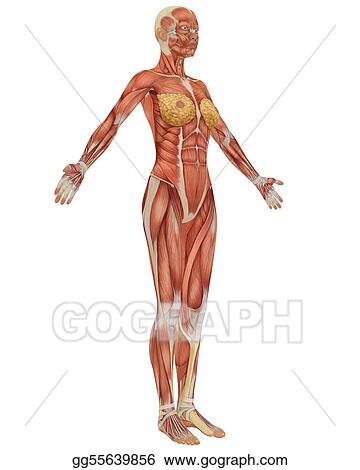 Drawing Side View Of The Female Muscular Anatomy Clipart Drawing