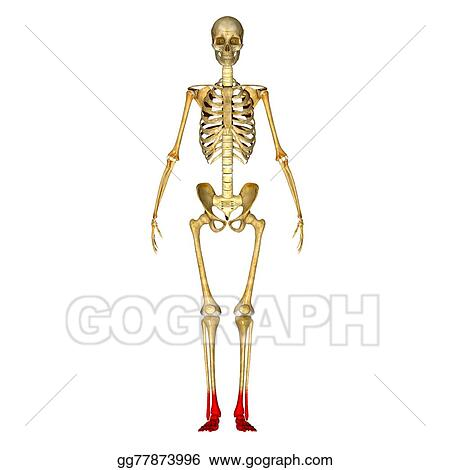 Drawing Skeleton Feet Clipart Drawing Gg77873996 Gograph