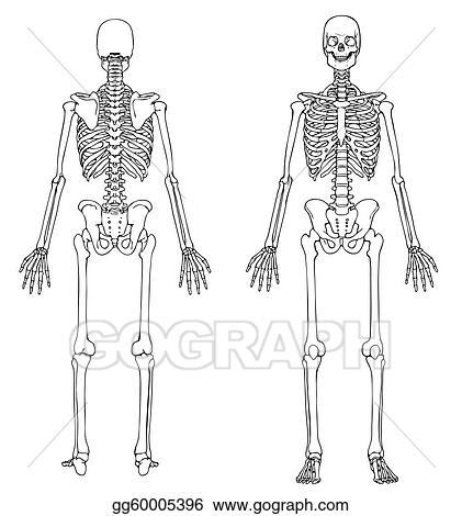 EPS Vector - Skeleton front and back. Stock Clipart Illustration ...