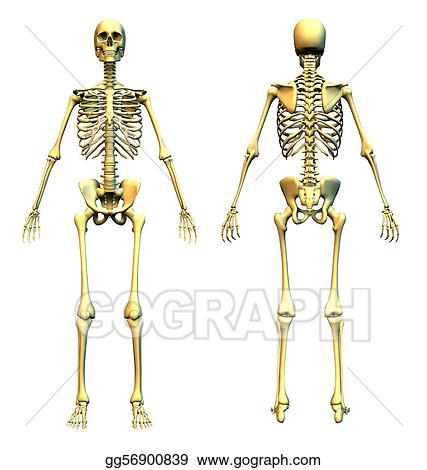 Clipart Skeleton Front Back Stock Illustration Gg56900839 Gograph