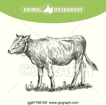Vector Art - Sketch of calf drawn by hand  livestock  cattle