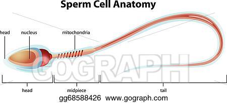 Clip Art Vector - Sperm cell structure. Stock EPS gg68588426 - GoGraph