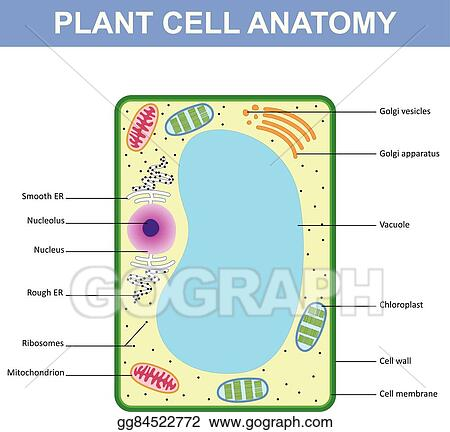Vector Illustration Structure Of A Plant Cell Eps Clipart