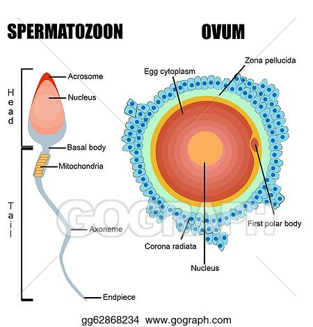 Ovum Diagram Lab Electrical Work Wiring Diagram