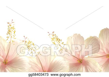 Drawing Sunlight Pink Hibiscus Flower Border Background Clipart