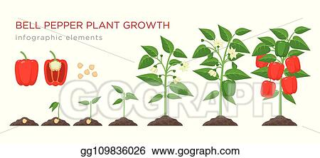 Clip Art Vector - Sweet pepper plant growth stages